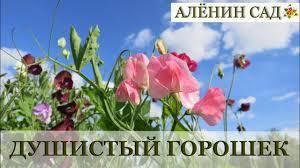 <b>Душистый горошек</b> от посева до цветения / Выращивание <b>горошка</b>