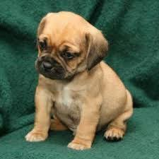 baby puggles. Fine Baby Baby Puggles  Google Search For Baby Puggles Pinterest