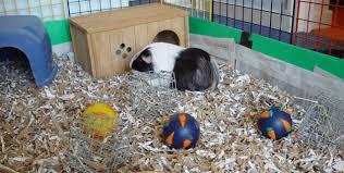 25 best guinea pig bedding in 2020