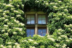 Climbers For A Shady Wall Or Fence  GardenersworldcomClimbing Plants That Like Shade