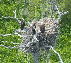 eagles nest size the center for conservation biology james river eagles continue