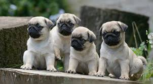 really cute pug puppies. Beautiful Pug Intended Really Cute Pug Puppies P