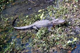 lazy gator say o to our little friend