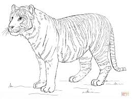 Small Picture Sumatran tiger coloring page Free Printable Coloring Pages