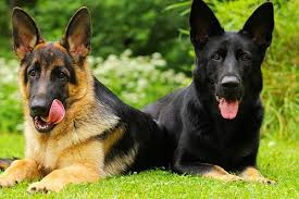 German Shepherd Ear Chart Different Colors Of German Shepherds And What They Mean