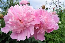 Image result for peony pictures and names