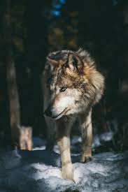 Wolf Ultra HD Wallpapers - Wallpaper Cave