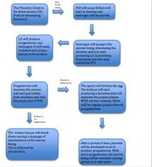 Period Cycle Chart Science Eportfoilio Flow Chart Of The Menstrual Cycle