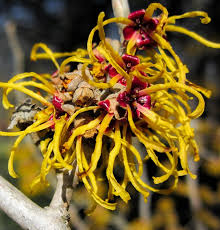 top 10 witch hazel uses countryside