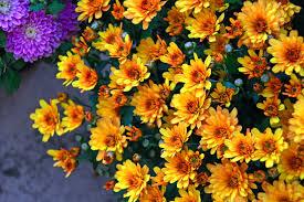 Resultado de imagem para crisantemo