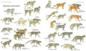 Cat Chart Types Of Wild Cats Wild Cat Species Cat Species