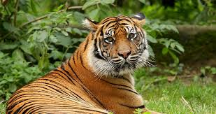 images of tigers. Wonderful Tigers With Images Of Tigers