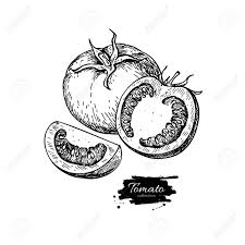 Tomato vector drawing isolated tomato and sliced piece vegetable 60985689 tomato vector drawing isolated tomato and sliced piece vegetable engraved style