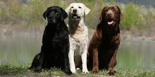 Labrador Color Chart Which Labrador Colour Is Best
