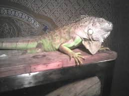 there he is in all his scaly reptilian glory as you can see he spends a lot more time on top of his cage than inside of it