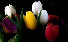 hd wallpaper white yellow red tulip