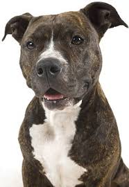 pitbull terrier. Beautiful Terrier American Pit Bull Terrier Dog Breed Intended Pitbull I
