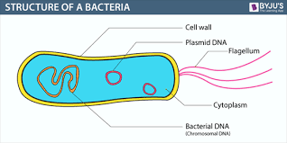 Bacteria Definition Structure Diagram Reproduction