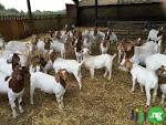 goat rearing business plan