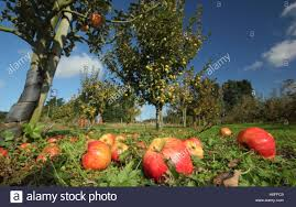 Heritage variety windfall apples in an English heritage orchard in a glorious  October day, England UK Stock Photo - Alamy