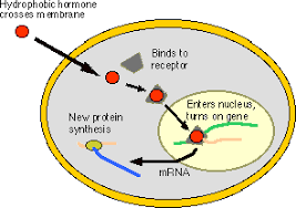 Mechanism Of Hormone Action Hormones Mechanisms Videos