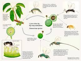 Fig Wasps