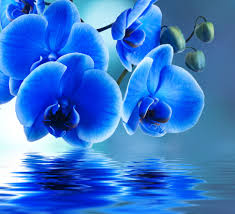 blue orchid reflection desktop background wallpaper free