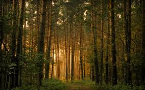 Forest Trees Wallpaper Landscape Nature Wallpapers