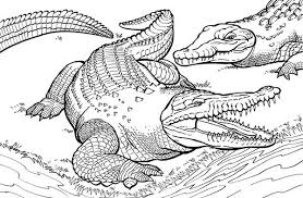 Small Picture Top 75 Alligator Coloring Pages Free Coloring Page