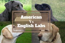 English Labs Vs American Labs Differrences Show Lab Vs