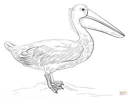 Small Picture Pelicans coloring pages Free Coloring Pages