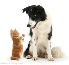 29942 black and white border collie and ginger kitten white background 1164x1104