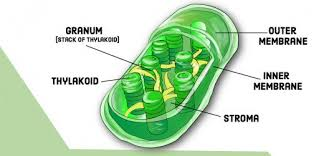 Chloroplast Mitochondria Venn Diagram Compare And Contrast Chloroplasts And Mitochondria Owlcation