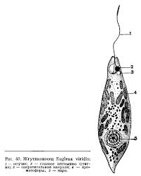 КЛАСС ЖГУТИКОНОСЦЫ mastigophora или flagellaТА это Что  КЛАСС ЖГУТИКОНОСЦЫ mastigophora или flagellaТА
