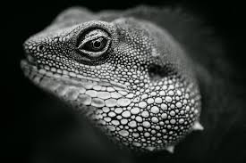 black and white reptile photography. For Black And White Reptile Photography Digital School