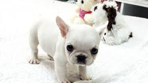 french bulldog puppy wallpaper. Simple Puppy White French Bulldog Puppy 2 Throughout Wallpaper