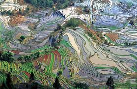 A picture of rice fields: evidence of the interaction of culture, economics  and the