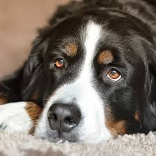 why do most dogs have brown eyes dog