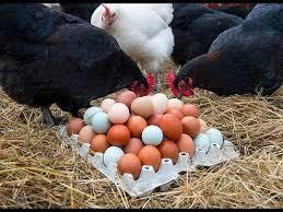Billedresultat for maran hane