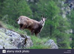 Small Picture Alpine Chamois Stock Photos Alpine Chamois Stock Images Alamy
