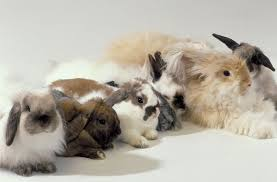 Mini Lop Colour Chart An Overview Of Rabbit Fur Colors And Patterns