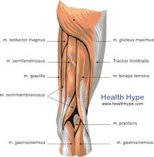 Thigh Muscles Diagram Pictures List Of Actions