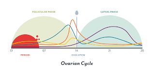 Menstrual Cycle Phases Chart The Menstrual Cycle Phases Of Your Cycle