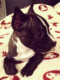 miniature bull terrier mix. Plain Mix Front View Upper Body Shot  A Black With White Miniature French Bull  Terrier Is Laying For Mix