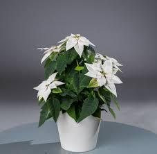 Weihnachtsstern Euphorbia Poinsettia Günstig Online Kaufen