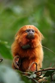 wildlife wednesdays worldwide conservation leaders gather at walt a golden lion tamarin like the ones guests can see at disney s animal kingdom