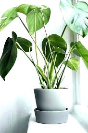 tall house plants large indoor plant pots leafy best houseplants for uk