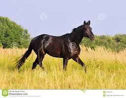 black horses running in a field. Plain Running Download Black Horse Run Free In Summer Field Stock Image  Of Free  Black With Horses Running A N