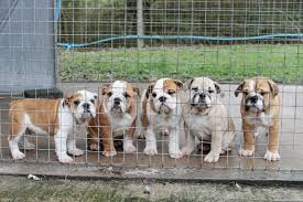 english bulldogs which have been smuggled in to the uk as bootleg breeders are illegally smuggling thousands of puppies into britain to meet christmas