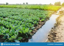 Natural Watering Of Agricultural Crops Irrigation Cabbage